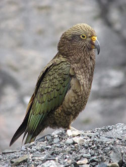 Kea - NZ Alpine parrot