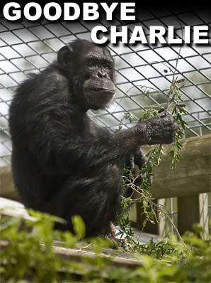 Chimps rule