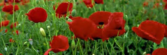 poppies_border